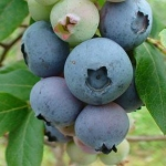 U-Pick Blueberries Mercier Orchards Blue Ridge Ga