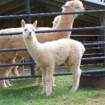Alpaca Tierra Farm – Young Harris, Georgia