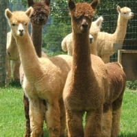 Destiny Alpacas – Young Harris, Georgia